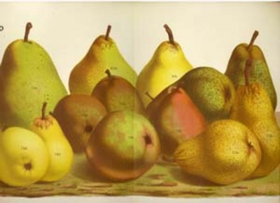 Pears print. Grouping of 13 pears including Madame Treyve, Amiral Cecille & General Duvivier. Van Houtte.