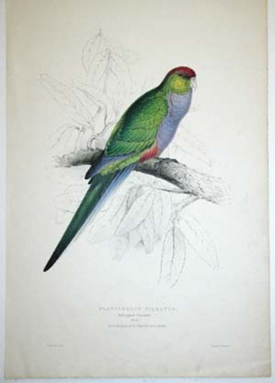 Red-capped Parrakeet. Platycercus Pileatus. (female). Edward Lear.