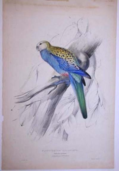 Paleheaded Parrakeet.. Platycercus Palliceps. In the possession of Mr. Leadbeater. Edward Lear.