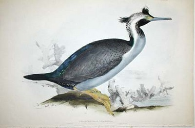 Phalacrocorax Punctatus. Spotted Cormorant of New Zealand. Edward Lear.