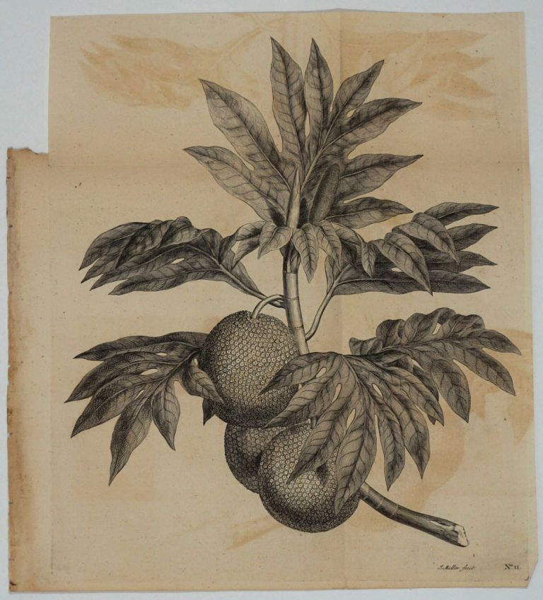 Breadfruit Engraving from Cook's first voyage. James Cook.