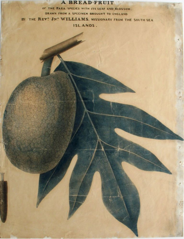 A bread-fruit of the Paea species with its leaf and blossom, drawn from a specimen brought to England by the Revd. Jno. Williams, missionary from the Sea Sea Islands. Rev. John Breadfruit; Williams.