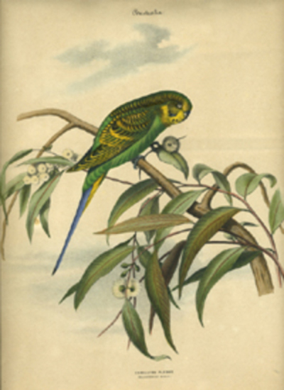 "Album of the Finest Birds of all Countries, ""Undulated Parrot. Wellenformiger Papagei."" Budgerigar in a flowering gum (eucalyptus) tree. Anon."