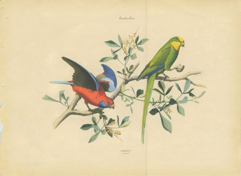 Album of the Finest Birds of all Countries, Parrots. Papagaien. Pennant's Parrot and a green Australian parrot. Anon.