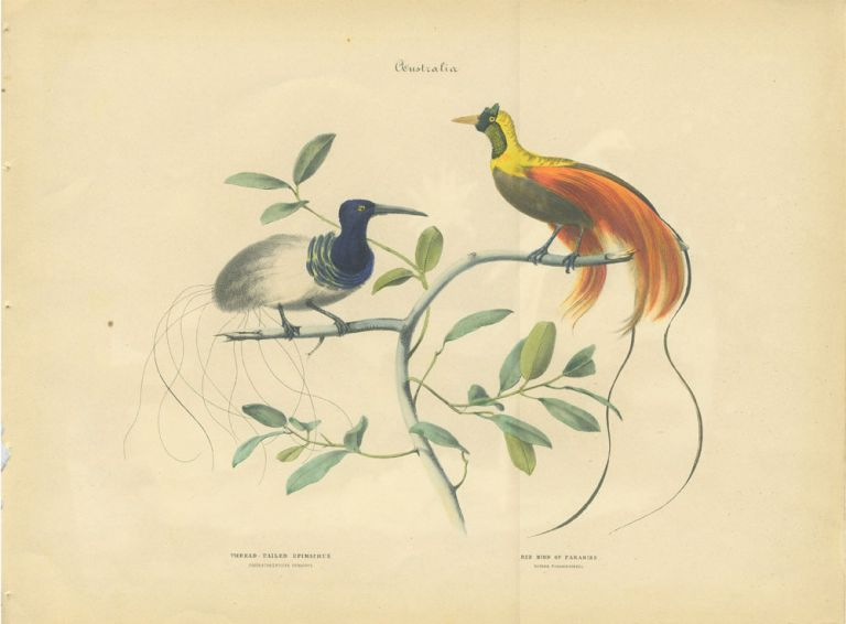 Album of the Finest Birds of all Countries, Thread - Tailed Epimachus. Fadenschwanziger Epimachus. Red Bird of Paradise. Rother Paradiesvogel. Anon.