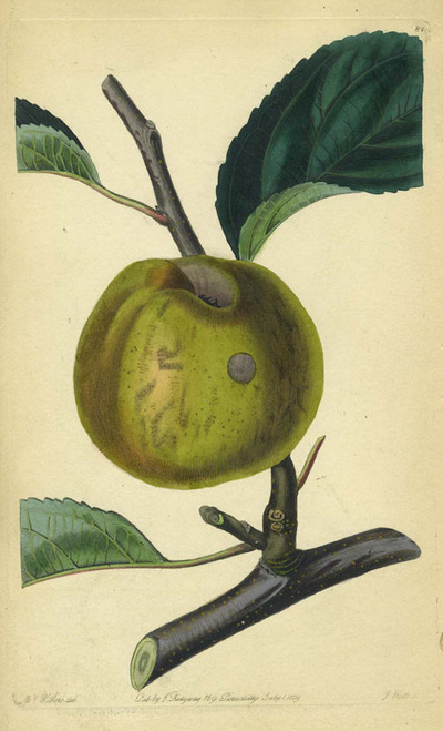 An Apple Print from the Pomological Magazine. John. Augusta Innes Withers Lindley.