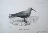 """Proof plate of the Lesser Noddy from the """"Birds of Australia"""", signed by Mathews with notations. Micranous Tenuirostris. G. M. J. G. Keulemans Mathews."""