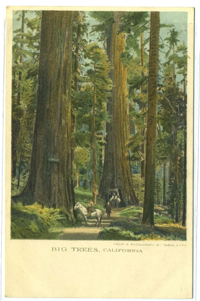 Christmas Postcard Showing Big Trees of California.