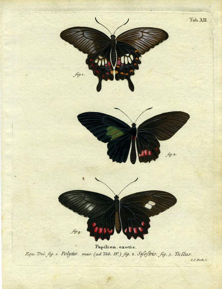 Papilion. Exotic. ButterflyMoth Engraving, I. C. Bock.