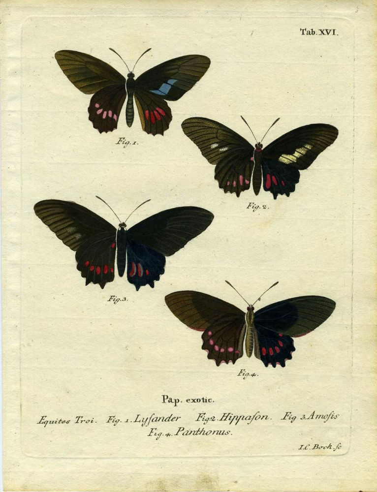 Pap. Exotic. ButterflyMoth Engraving, I. C. Bock.