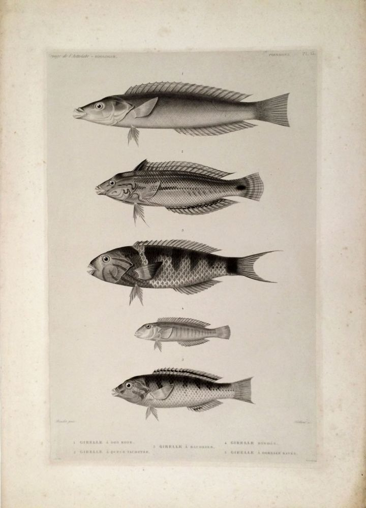Girelle a dos Rose, Girelle a Queue Tachetee, Girelle a Baudrier, Girelle Bordee, Girelle a Dorsale Rayee. [Stipple engraving of fish from the South Pacific]. Dumont D'Urville, Bevalet pinx, Teillard sc.