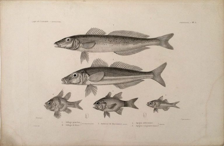 Sillago Ponctue, Sillago de Bass, Ambasse de Dussumier, Aogon orbiculaire, Apogon a nageoires roses. [Stipple engraving of fish from the South Pacific]. Dumont D'Urville, Bevalet pinx, Dequevauviller sc.