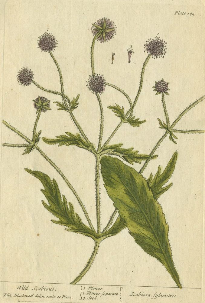 """Wild Scabious from """"A Curious Herbal, containing five hundred cuts, of the most useful plants, which are now used in the practice of physick"""" Elizabeth Blackwell."""