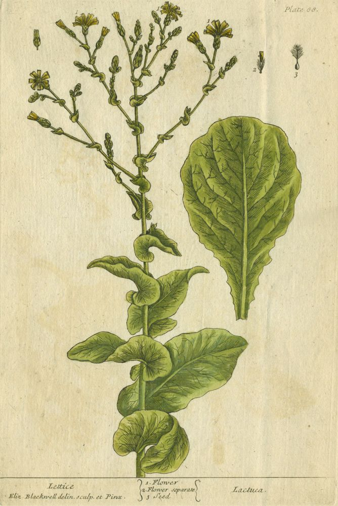 "Lettice from ""A Curious Herbal, containing five hundred cuts, of the most useful plants, which are now used in the practice of physick"" Elizabeth Blackwell."
