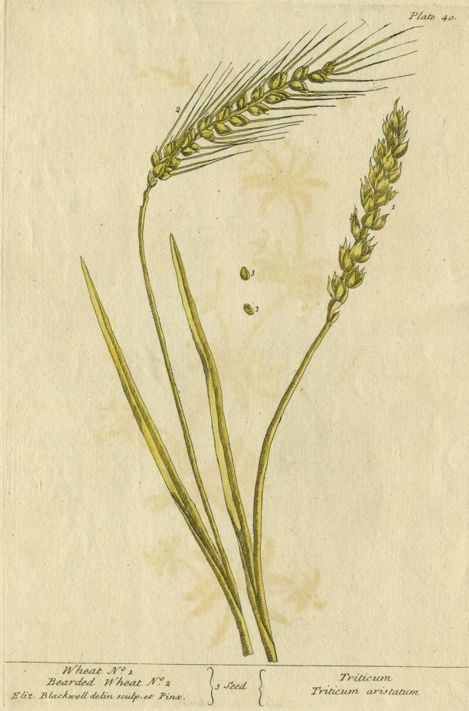 "Wheat No. 1, Bearded Wheat No. 2 from ""A Curious Herbal, containing five hundred cuts, of the most useful plants, which are now used in the practice of physick"" Elizabeth Blackwell."