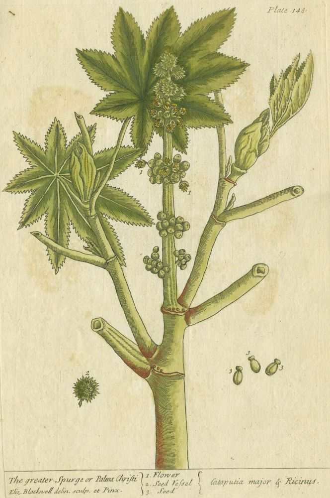 """Greater Spurge or Palma Christi from """"A Curious Herbal, containing five hundred cuts, of the most useful plants, which are now used in the practice of physick"""" Elizabeth Blackwell."""