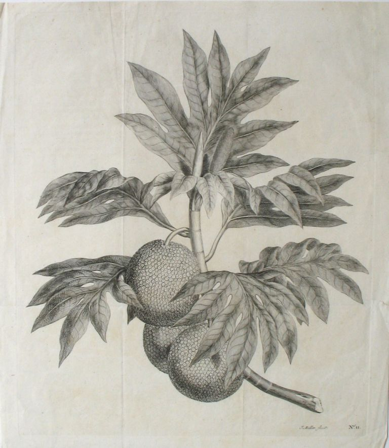 Breadfruit Engraving from Cook's first voyage. (A branch of the bread-fruit tree with the fruit). Breadfruit, James Cook.