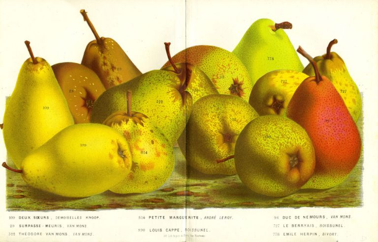 Pears, chromolithograph print - an assortment including Deux Soeurs, Petite Marguierite, Duc de Nemours. From the Flore des Serres et des Jardins de l'Europe. Gold, green and red fruit print. Louis Van Houtte.
