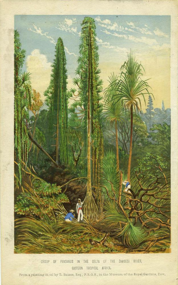 Group of Pandanus in the Delta of the Zambesi River, Eastern Tropical Africa. Engraving. Thomas Baines.