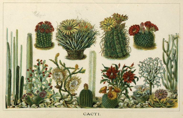 'Cacti'. Botanical chromolithograph with red and yellow flowering cacti.
