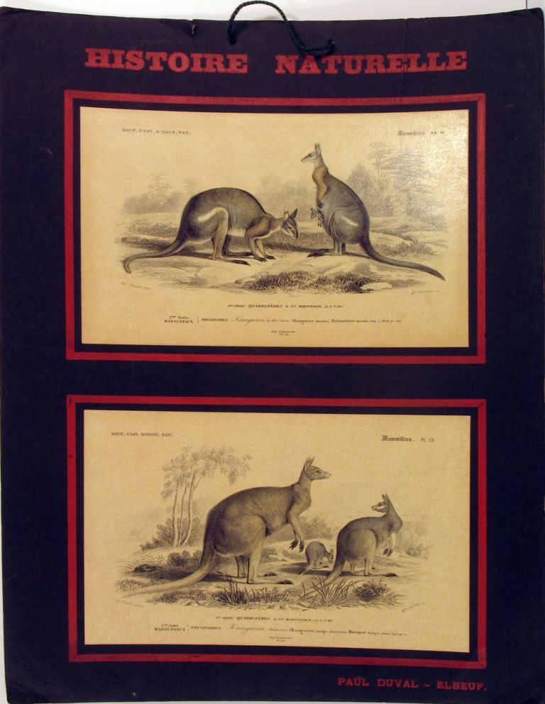 Histoire Naturelle, Mammiferes: Kangurou a dos noir [with] Kangurou laineux. French instructional board showing black striped wallaby and great red kangaroo. Children's, Kangaroo, Wallaby, Geofffroy St. Hilaire, Paul Duval ed.