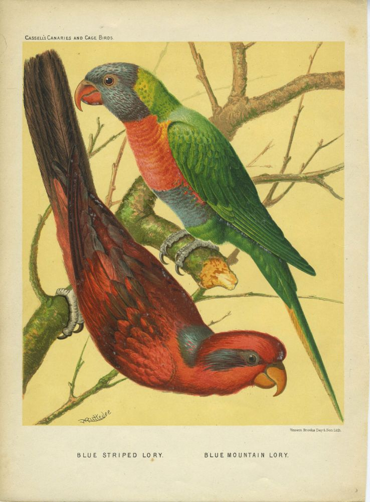 Blue Striped Lory; Blue Mountain Lory. Chromolithograph. William after Rutledge.