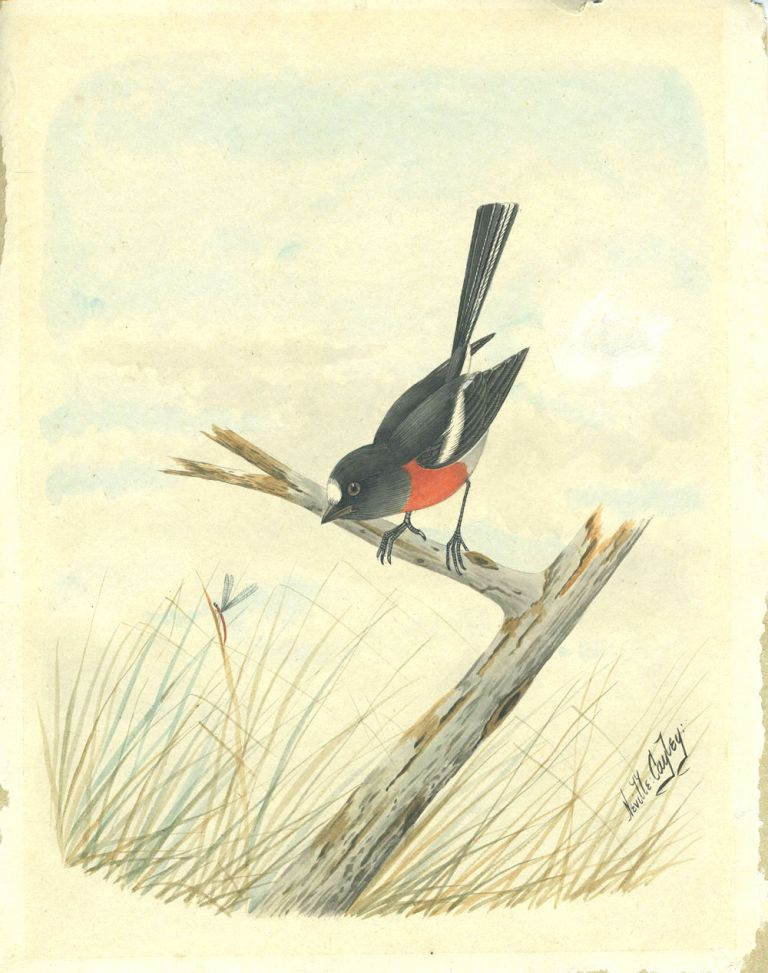 [Watercolor of an Australasian Robin]. Neville Henry Cayley.