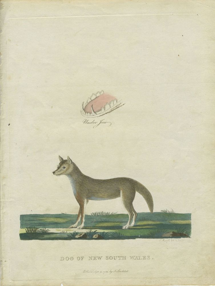Dog of New South Wales, period colored engraving from Philip's Voyage. Gov. Arthur Philip, Peter Mazell.