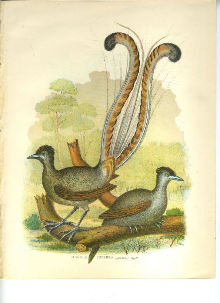 Menura Superba (Lyre Bird). Color lithograph.