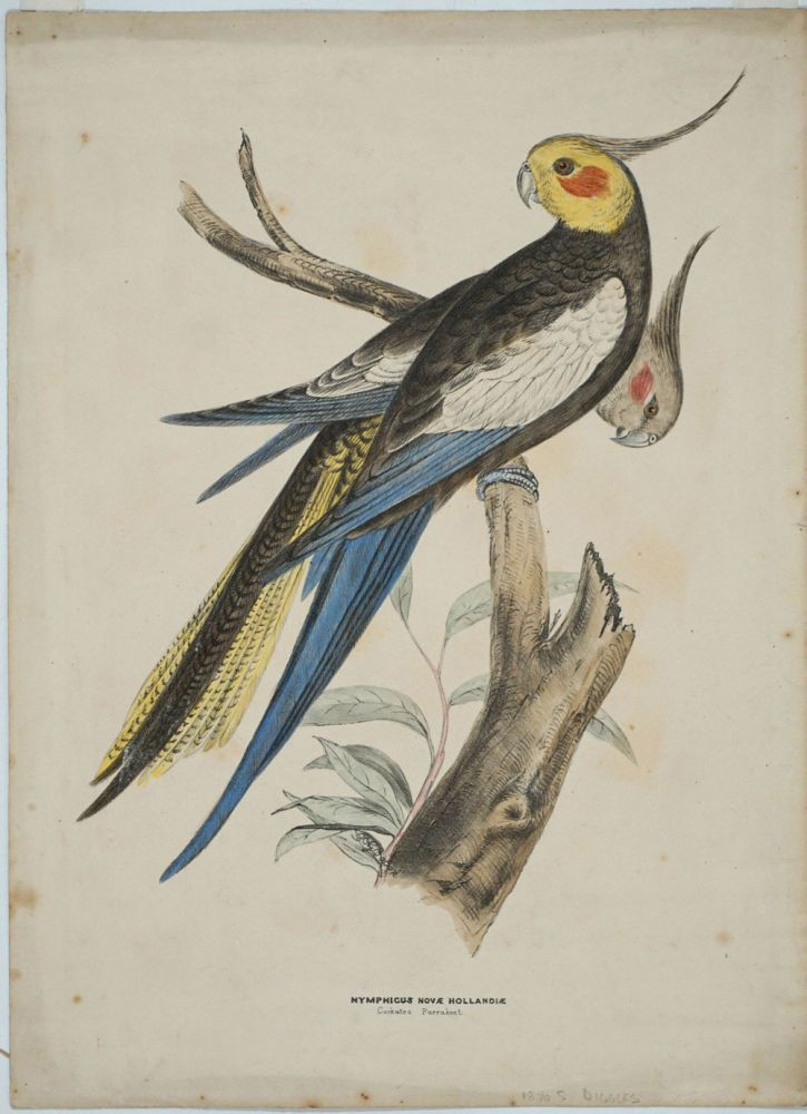 Nymphicus Novae Hollandiae, Cockatoo Parrakeet. Hand colored lithograph. Silvester Diggles.