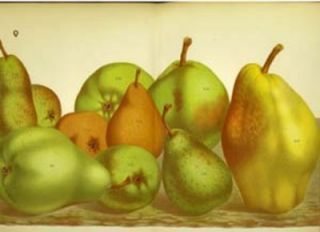 Pears print. Grouping of 10 pears including Hubert Gregoire, Beurre Dalbret & Beurre Bretonneau....