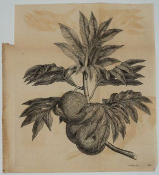 Breadfruit Engraving from Cook's first voyage. James Cook