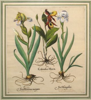 Calceolus Mariae (Ladies Slipper) - Iris Pannonica Varigata (Dark variegated bearded Iris) - ...