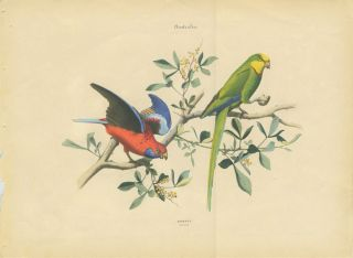Album of the Finest Birds of all Countries. Australia. Parrots. Papagaien. Pennant's Parrot and a green Australian parrot.