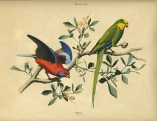 Album of the Finest Birds of all Countries, Parrots. Papagaien. Pennant's Parrot and a green Australian parrot.