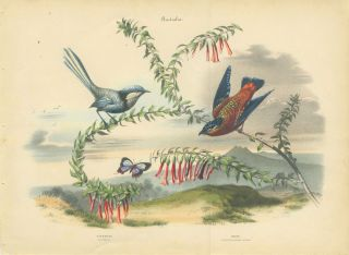 Album of the Finest Birds of all Countries. Australia. Titmouse. Glanzmeise. (with) Wren. Punktirter Zaunkonig Wurger The blue fairy wren and another wren.