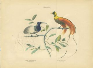 Album of the Finest Birds of all Countries, Thread - Tailed Epimachus. Fadenschwanziger...