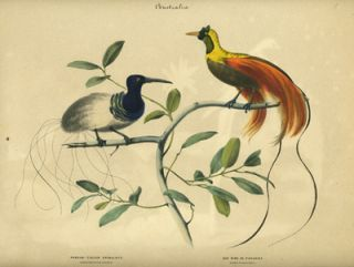 Album of the Finest Birds of all Countries, Thread - Tailed Epimachus. Fadenschwanziger Epimachus. Red Bird of Paradise. Rother Paradiesvogel.