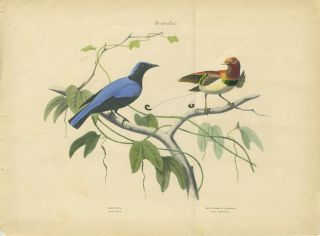 Album of the Finest Birds of all Countries. Australia. Blue Girl. Blaue's Madchen. Royal Bird of Paradise. Konigs Paradiesvogel.