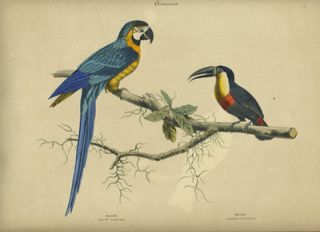 Album of the Finest Birds of all Countries. America. Macaw. Blau und Gelber Arras. Toucan. ...