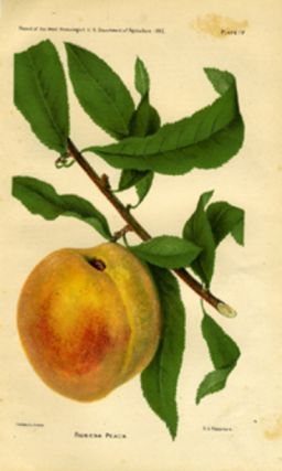 Robena Peach. US Dept. of Agriculture