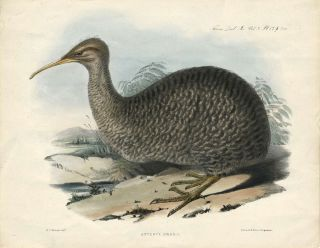 Apteryx Owenii (the Kiwi). Handcolored lithograph. H. C. Richter