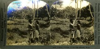 Stereoscopic view, Typical Natives of the Fiji Islands, Suva