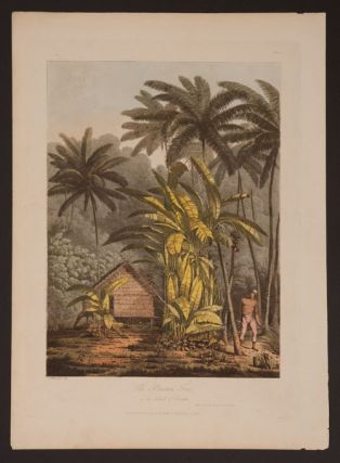 The Plantain Tree in the Island of Cracatoa. John Webber