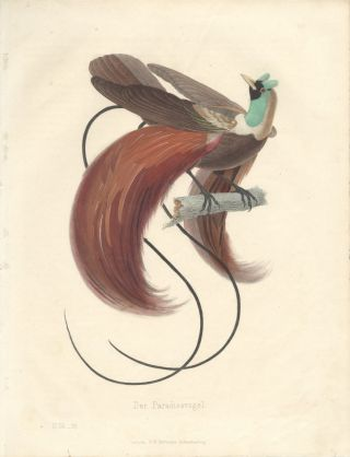 Color Plate of Der Paradiesvogel (Bird of Paradise).