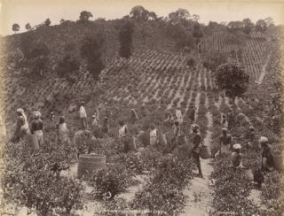 Photograph of Tea Leaf Harvest in Ceylon