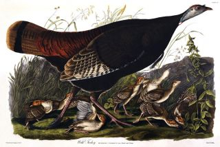 Wild Turkey, Female & Young. Meleagris Gallopavo. John James Audubon