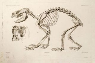 Koala Brun (Desm.) Male [with] Koala Brun. (Desm.) [Skeleton] [Two engravings of the Koala Bear, one of his skeleton].