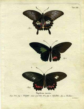 Papilion. Exotic. ButterflyMoth Engraving, I. C. Bock