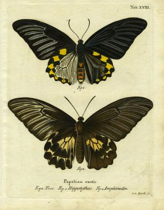 Papilion Exotic. ButterflyMoth Engraving, Joh Leitner